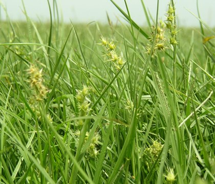 sticker-field-sandbur